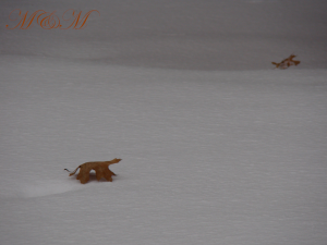 Snowcrab