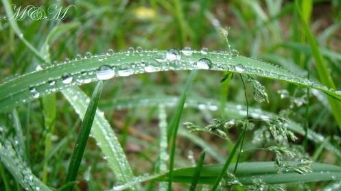 raingrass